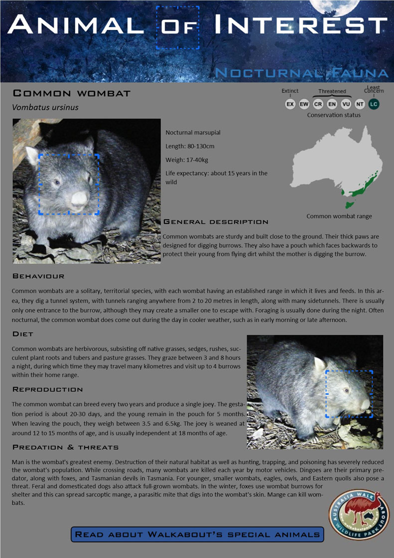 AOI Common Wombat