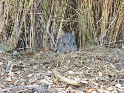 bettong-in-nest