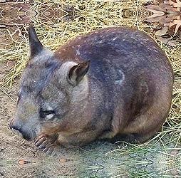 wombat2.jpg