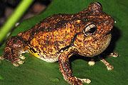 perons-tree-frog-thmb