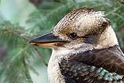 kookaburra thmb