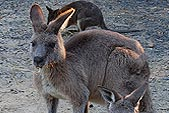 eastern-grey-kangaroo