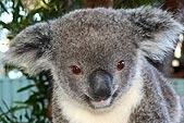 koala-thmb