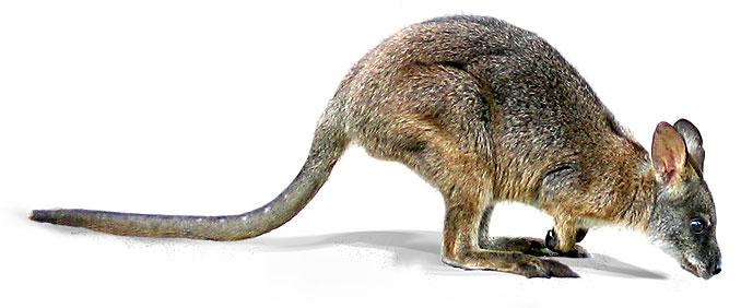 parma-wallaby