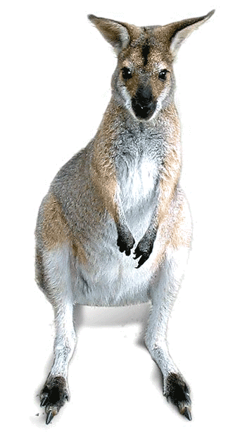 red-neck-wallaby