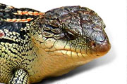 blue tongue lizard thmb