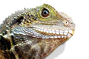 eastern water dragon thmb