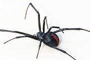 redback spider thmb
