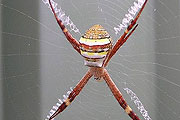 st-andrew-s-cross-spider